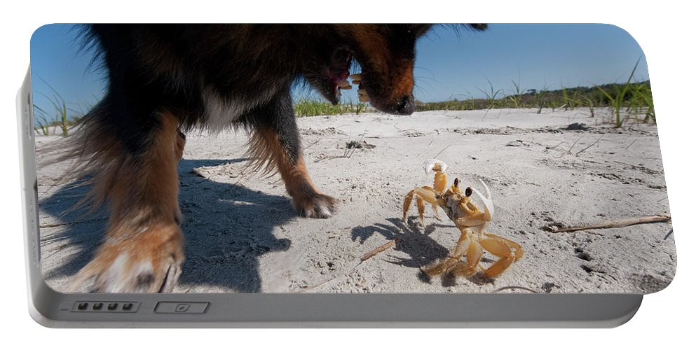 Aggression Portable Battery Charger featuring the photograph A Small Dog Fights With A Crab by Ryan Rombough