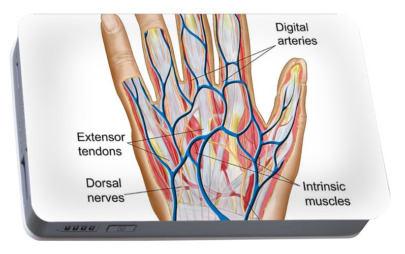 Anatomy Of Back Of Human Hand Portable Battery Charger For Sale By