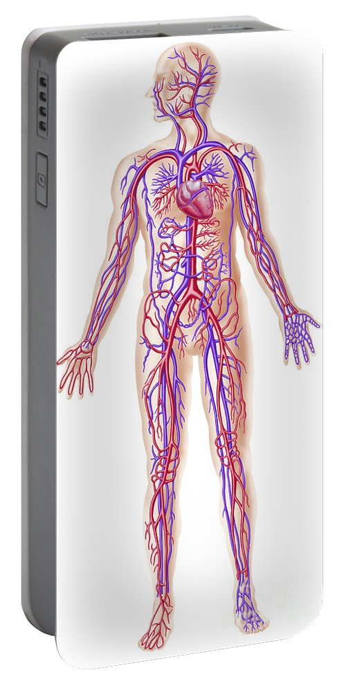 Anatomy Portable Battery Charger featuring the digital art Anatomy Of Human Circulatory System by Leonello Calvetti