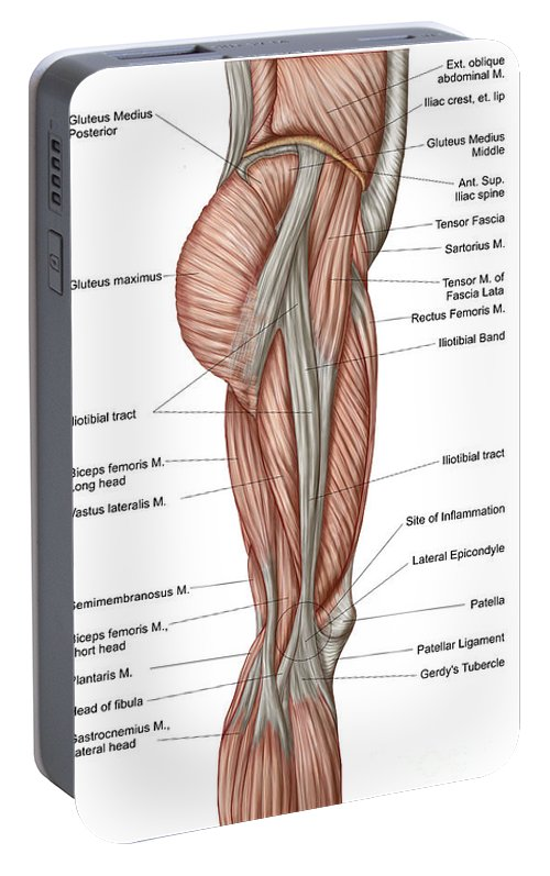 Anatomy Of Human Thigh Muscles Portable Battery Charger for Sale by ...