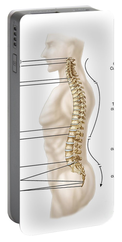 Vertical Portable Battery Charger featuring the digital art Anatomy Of Human Vertebral Column, Left by Stocktrek Images