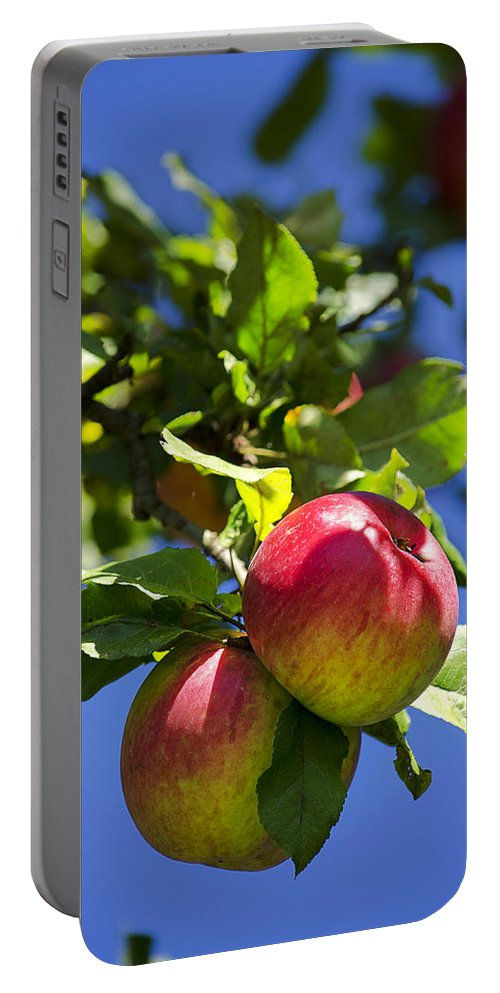 Fresh Apples Portable Battery Charger featuring the photograph Apples On Tree by Christina Rollo