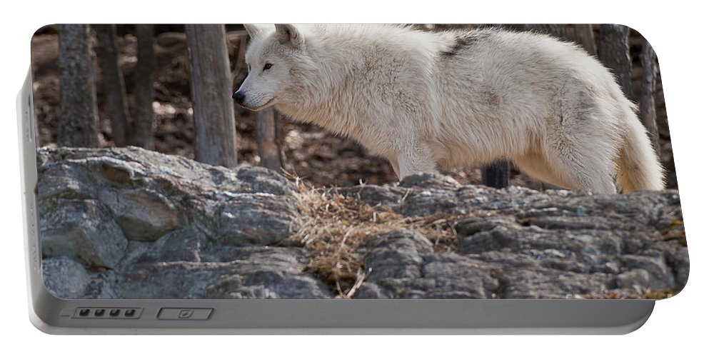 Arctic Wolf Greeting Cards Portable Battery Charger featuring the photograph Arctic Wolf Pictures 525 by World Wildlife Photography