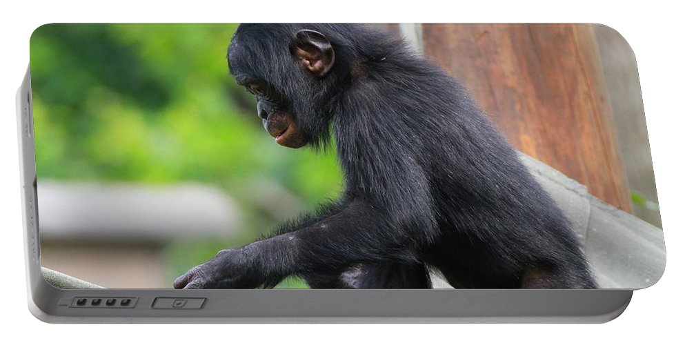 Playful Young Monkey Portable Battery Charger featuring the photograph Baby Bonobo by Dan Sproul