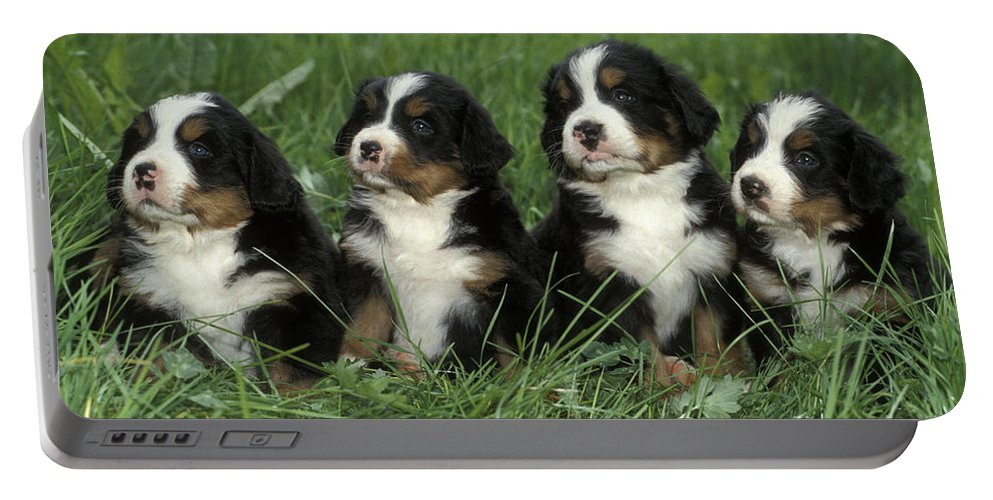 Dogs Portable Battery Charger featuring the photograph Bernese Mountain Puppies by Rolf Kopfle