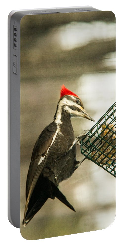 Pileated Woodpecker Portable Battery Charger featuring the photograph Better Pickins Here by Douglas Barnett