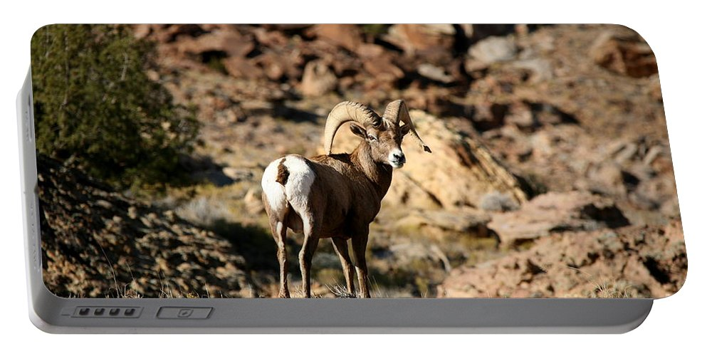 Wildlife Portable Battery Charger featuring the photograph Bighorn Stare by Gary Emilio Cavalieri