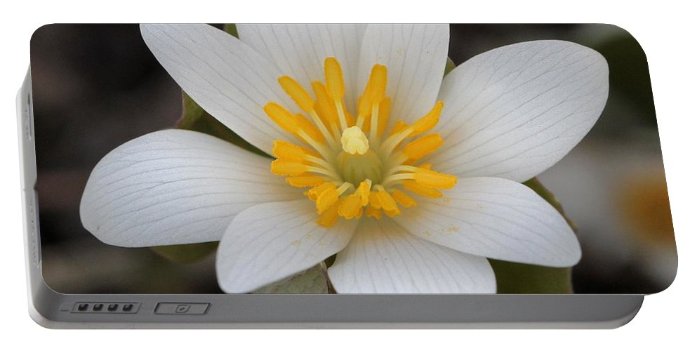Bloodroot Portable Battery Charger featuring the photograph Bloodroot Beauty by Doris Potter