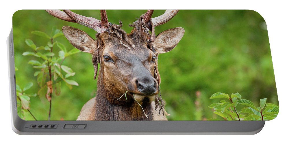 Roosevelt Elk Portable Battery Charger featuring the photograph Bloody Elk by Greg Nyquist