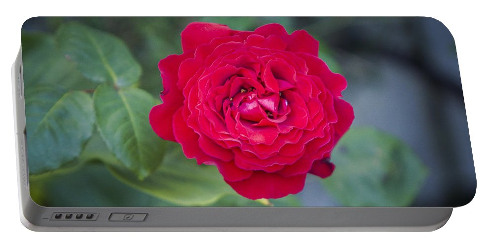 Rose Photographs Portable Battery Charger featuring the photograph Blossoming Rose by Paulina Fadrowska