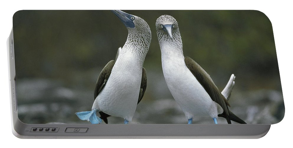 00141144 Portable Battery Charger featuring the photograph Blue Footed Booby Dancing by Tui De Roy