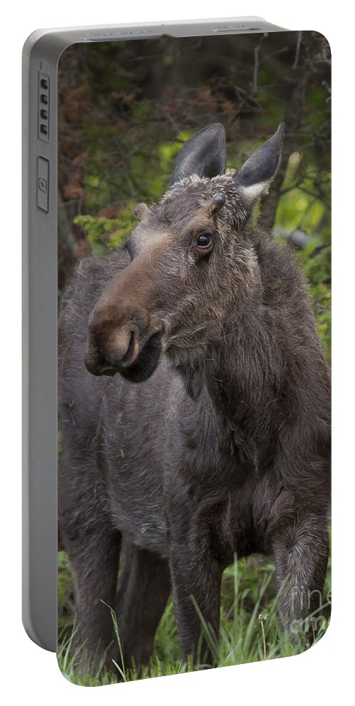 Moose Bull Moose Portable Battery Charger featuring the photograph Bull Moose  #5654 by J L Woody Wooden