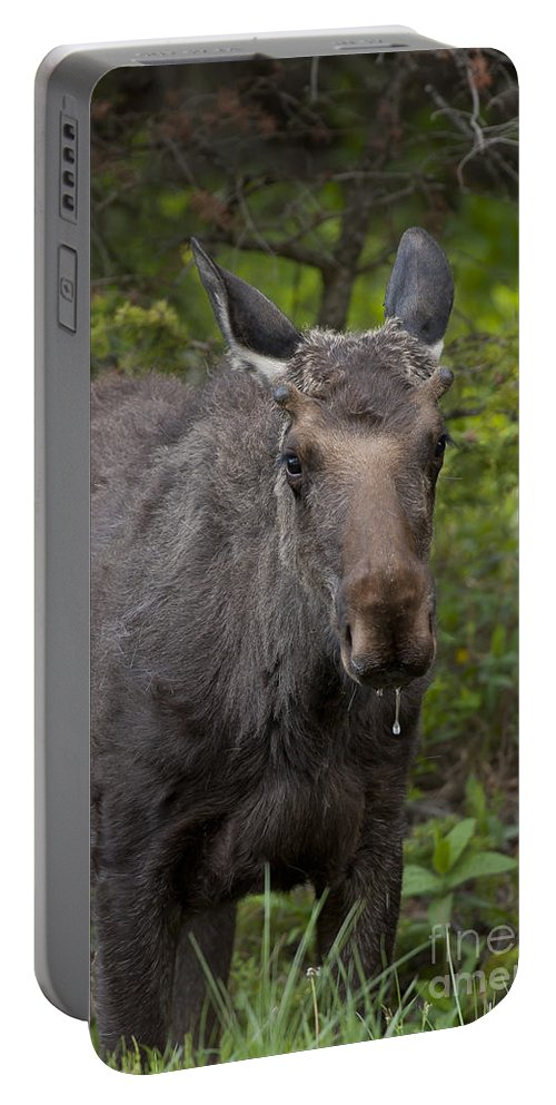 Moose Bull Moose Portable Battery Charger featuring the photograph Bull Moose  #5712 by J L Woody Wooden