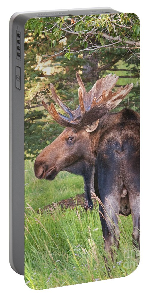 Bull Moose Portable Battery Charger featuring the photograph Bull Moose Looking Back by Timothy Flanigan and Debbie Flanigan Nature Exposure