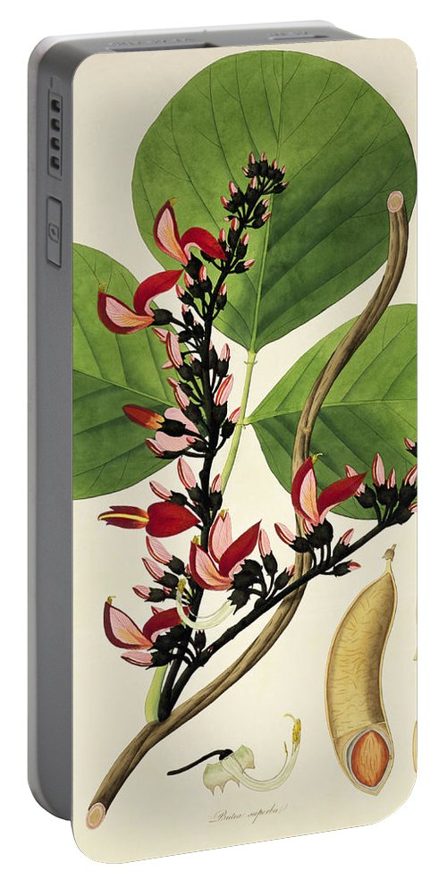Plant Portable Battery Charger featuring the painting Butea Superba by William Roxburgh