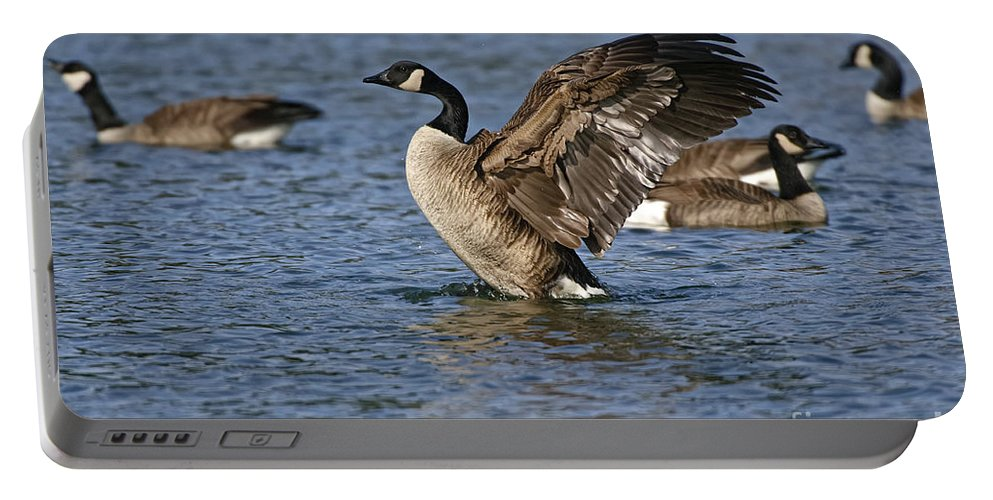 Canada Goose Portable Battery Charger featuring the photograph Canada Goose Pictures 165 by World Wildlife Photography