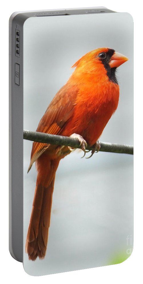 Red Bird Portable Battery Charger featuring the photograph Cardinal II by Lizi Beard-Ward