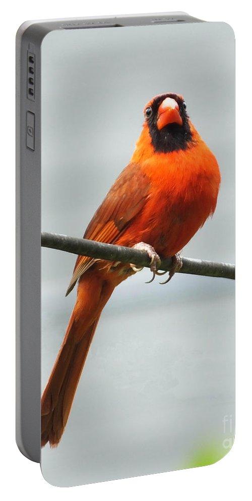 Redbird Portable Battery Charger featuring the photograph Cardinal IIi by Lizi Beard-Ward