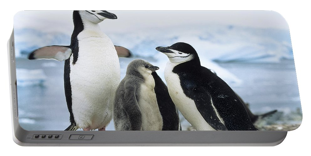 Feb0514 Portable Battery Charger featuring the photograph Chinstrap Penguins And Chicks Antarctica by Konrad Wothe