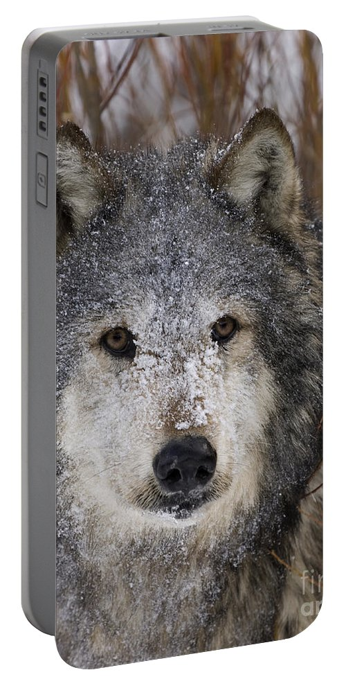 Wolf Portable Battery Charger featuring the photograph Cold Stare by Wildlife Fine Art