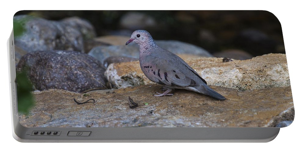 Doug Lloyd Portable Battery Charger featuring the photograph Common Ground-dove by Doug Lloyd