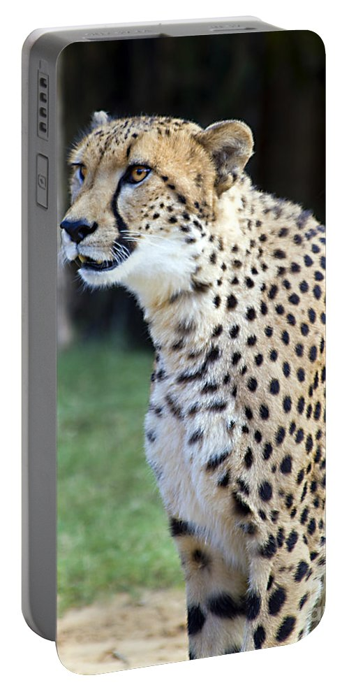 Tigers Portable Battery Charger featuring the photograph Content Onlooker by Ken Frischkorn