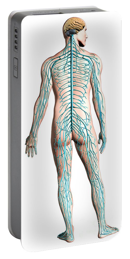Anatomy Portable Battery Charger featuring the digital art Diagram Of Human Nervous System by Leonello Calvetti
