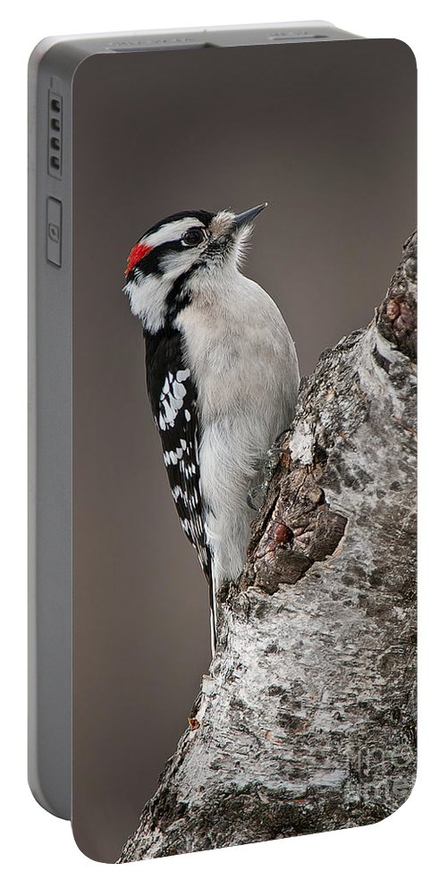 Downy Woodpecker Portable Battery Charger featuring the photograph Downy Woodpecker Pictures 11 by World Wildlife Photography