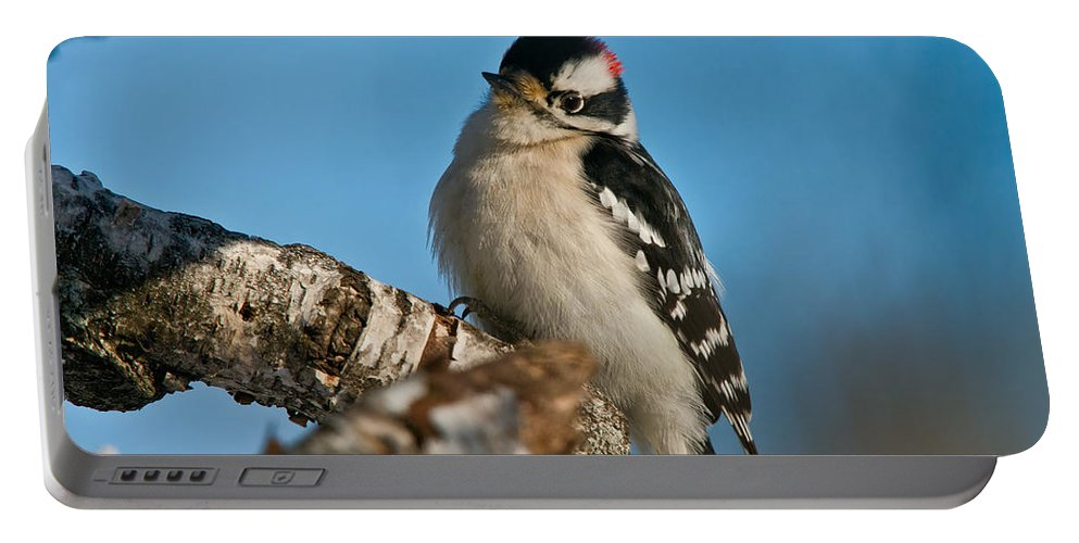 Downy Woodpecker Portable Battery Charger featuring the photograph Downy Woodpecker Pictures 23 by World Wildlife Photography