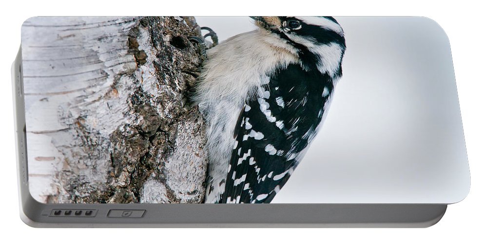 Downy Woodpecker Portable Battery Charger featuring the photograph Downy Woodpecker Pictures 27 by World Wildlife Photography