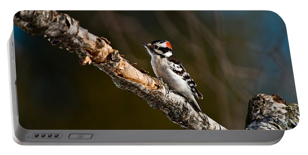 Downy Woodpecker Portable Battery Charger featuring the photograph Downy Woodpecker Pictures 36 by World Wildlife Photography