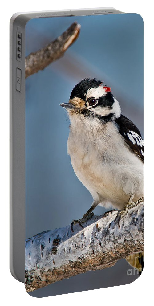 Downy Woodpecker Portable Battery Charger featuring the photograph Downy Woodpecker Pictures 39 by World Wildlife Photography
