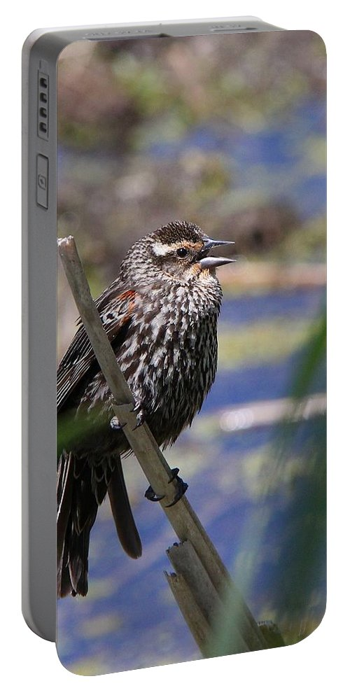 Blackbird Portable Battery Charger featuring the photograph Female Red-winged Blackbird by Davandra Cribbie