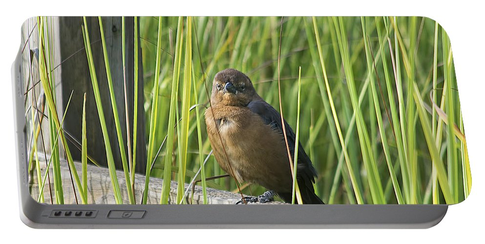 Wildlife Portable Battery Charger featuring the photograph Fence Grackle by Kenneth Albin