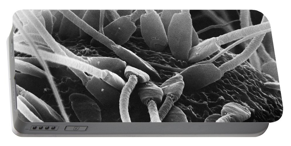 Science Portable Battery Charger featuring the photograph Fertilization In Rat Sem by David M. Phillips / The Population Council