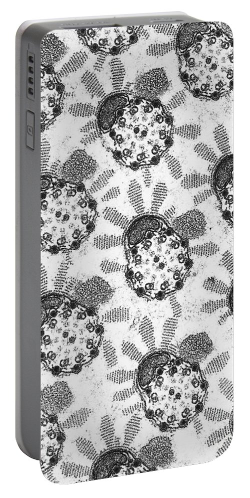 Testis Portable Battery Charger featuring the photograph Flagellar Membranes Of Moth Sperm, Tem by David M. Phillips