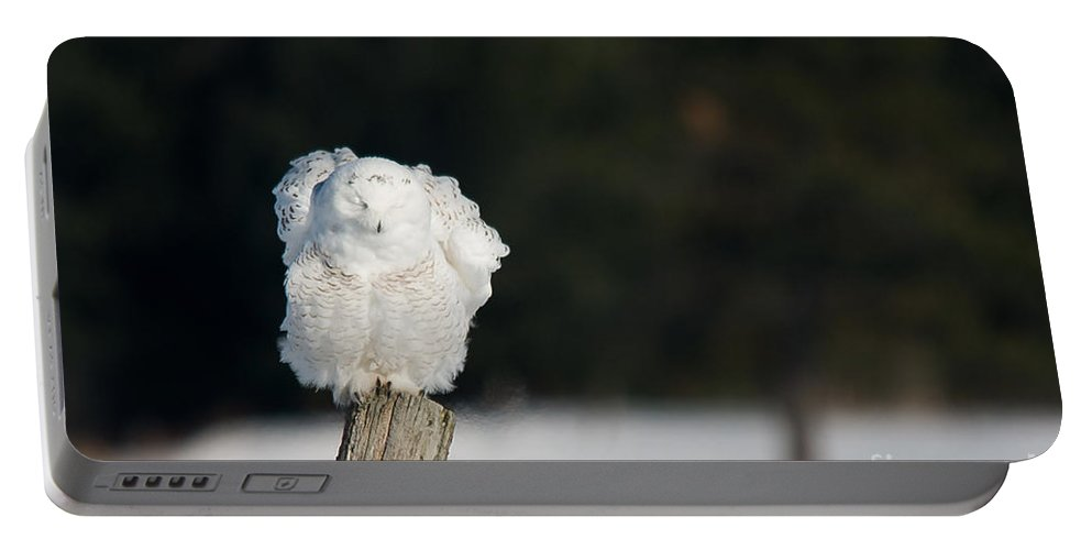 Snowy Owl Portable Battery Charger featuring the photograph Fluffing Feathers by Cheryl Baxter