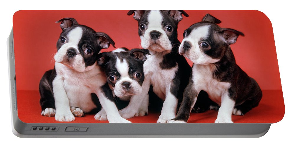 Photography Portable Battery Charger featuring the photograph Four Boston Terrier Puppies On Red by Vintage Images