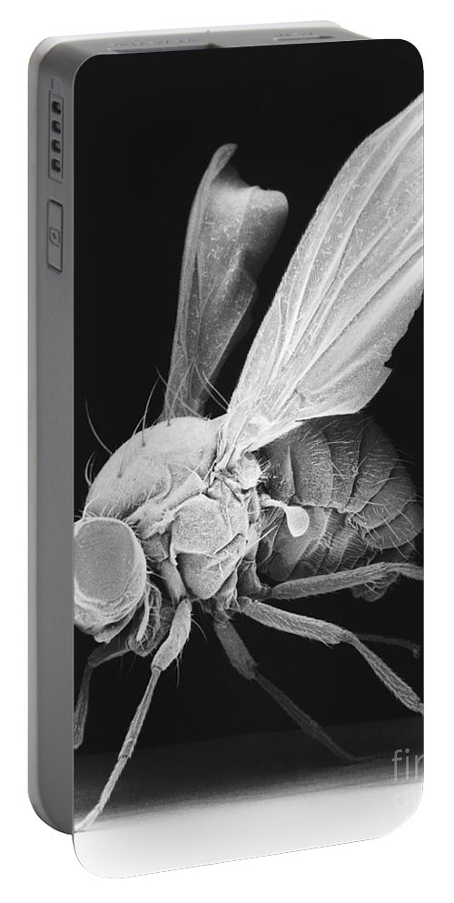 Fruitfly Portable Battery Charger featuring the photograph Fruit Fly by David M. Phillips