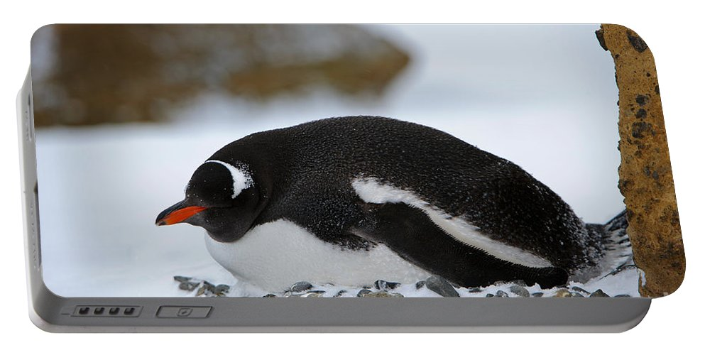 Antarctica Portable Battery Charger featuring the photograph Gentoo Penguin On Nest by John Shaw