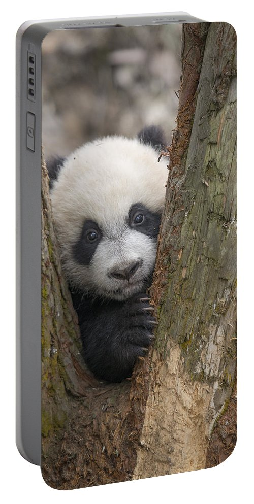 Katherine Feng Portable Battery Charger featuring the photograph Giant Panda Cub Bifengxia Panda Base by Katherine Feng
