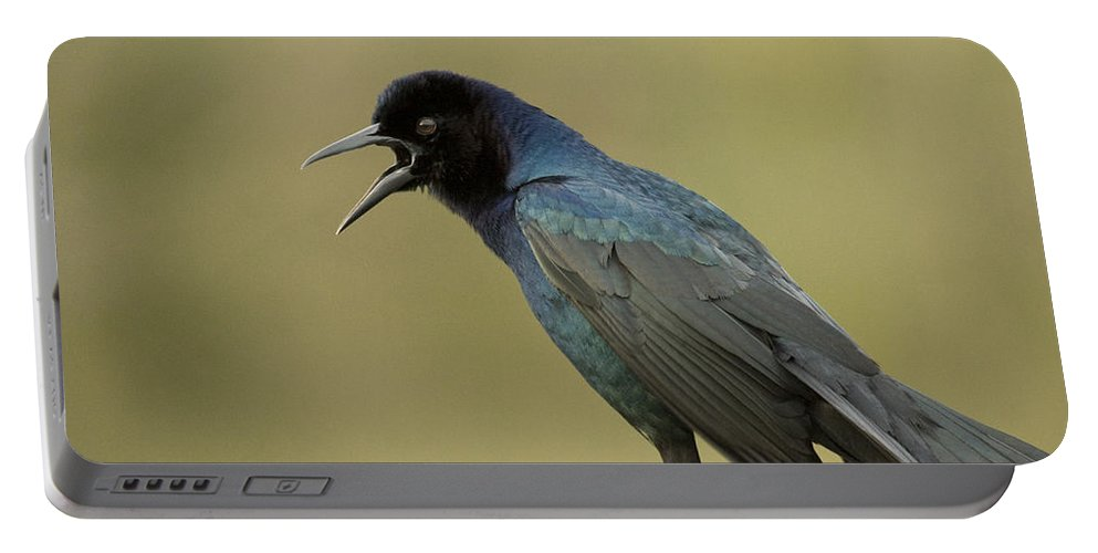 Boat-tailed Grackle Portable Battery Charger featuring the photograph Grackle 2 by Sandy Swanson