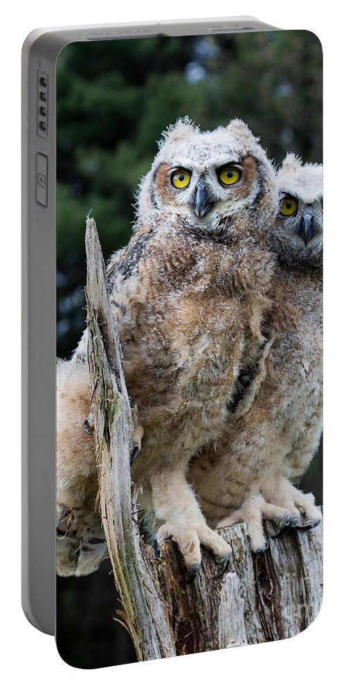 Great Horned Owl Portable Battery Charger featuring the photograph Great Horned Owlets by Barbara McMahon