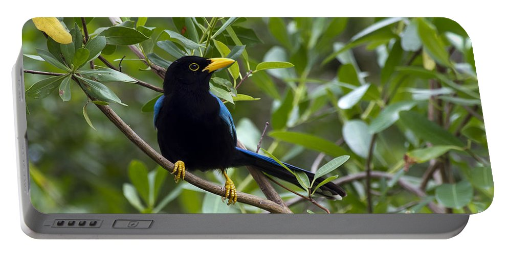 Bird Portable Battery Charger featuring the photograph Immature Yucatan Jay by Teresa Zieba