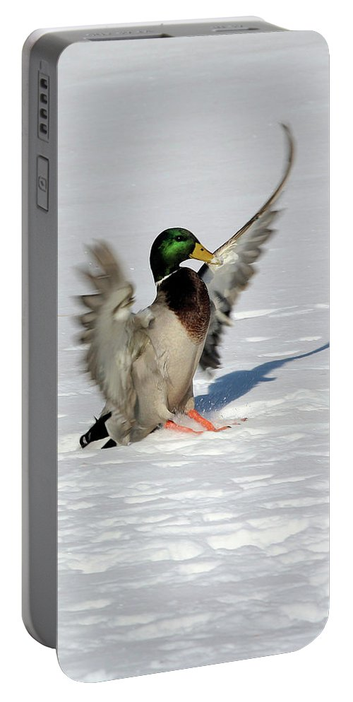 Mallard Portable Battery Charger featuring the photograph Just Like Skiing by Karol Livote