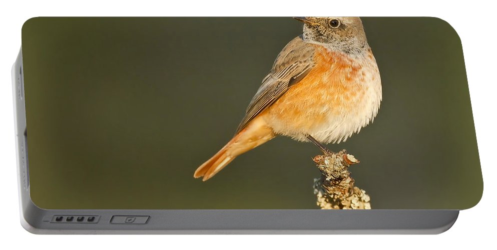 Bird Portable Battery Charger featuring the photograph Juvenile Redstart Phoenicurus Phoenicurus by Rafi Uliel