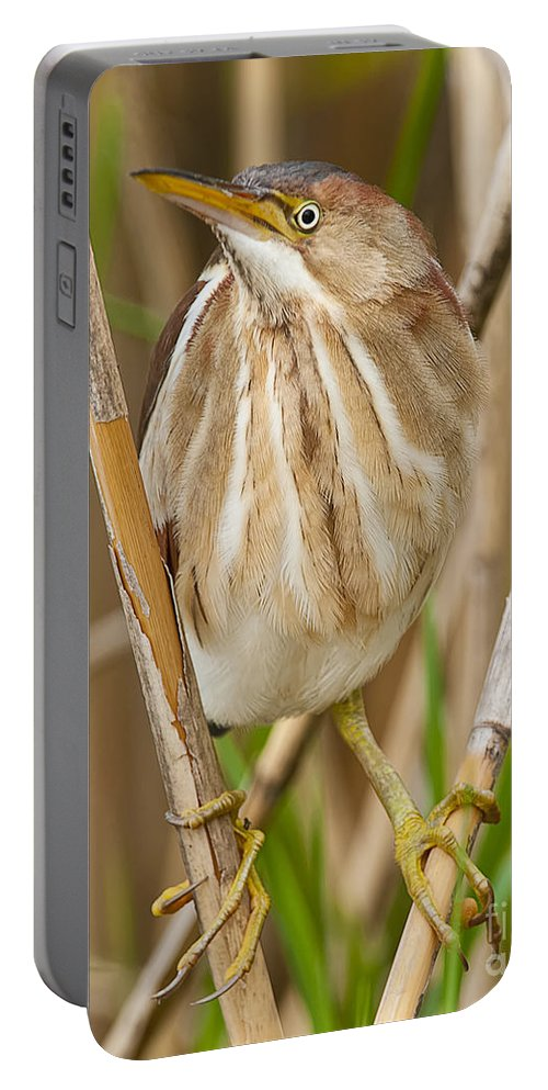 Least Bittern Portable Battery Charger featuring the photograph Least Bittern Pictures 35 by World Wildlife Photography