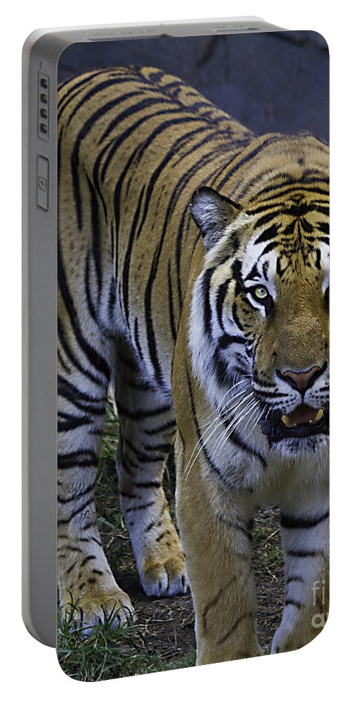 Tigers Portable Battery Charger featuring the photograph Looking For Lunch by Ken Frischkorn
