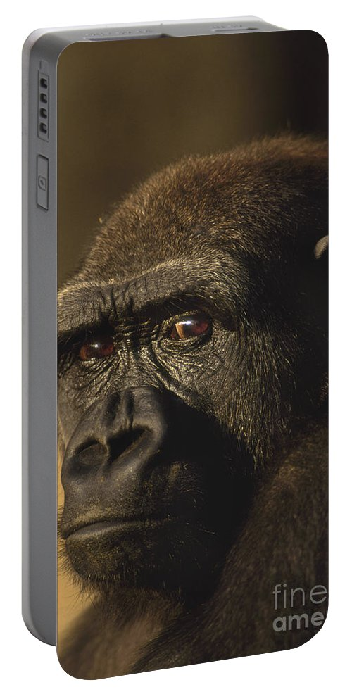 Lowland Gorilla Portable Battery Charger featuring the photograph Lowland Gorilla by Frans Lanting MINT Images