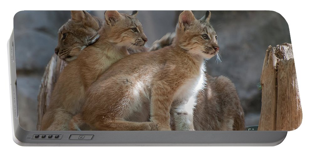 Canadian Lynx Portable Battery Charger featuring the photograph Lynx Trio by Bianca Nadeau
